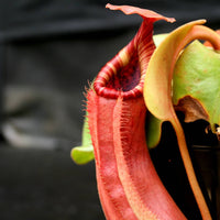 Nepenthes Song of Melancholy x truncata (c) - Giant, CAR-0025