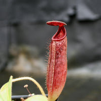 Nepenthes glandulifera x lowii