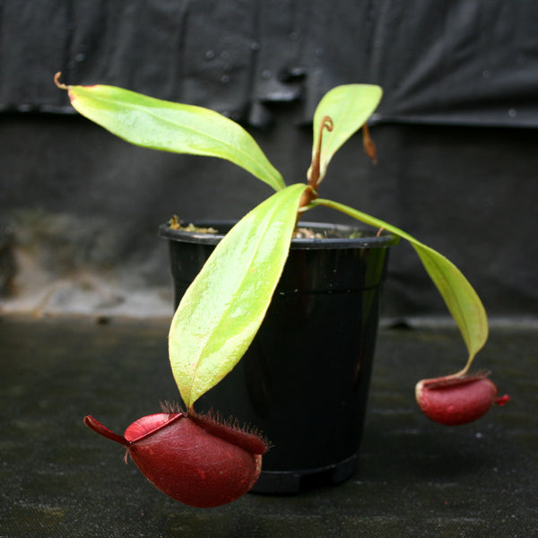 Nepenthes ampullaria (Red x Black Miracle)