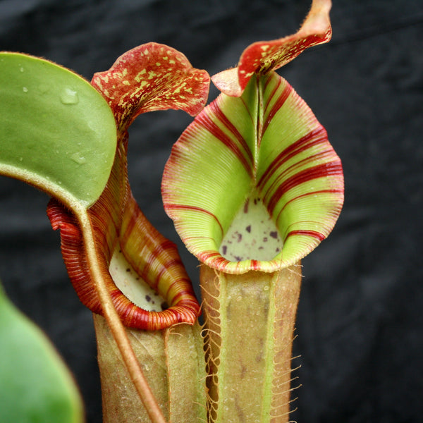 "Nepenthes [(lowii x veitchii) x boschiana)] x veitchii ""The Wave"", CAR-0109"