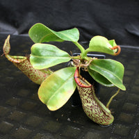 Nepenthes [(lowii x veitchii) x boschiana]-yellow x platychila, CAR-0084