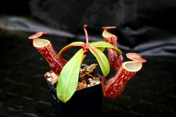 "Nepenthes ""Leilani Legacy"", CAR-0044"