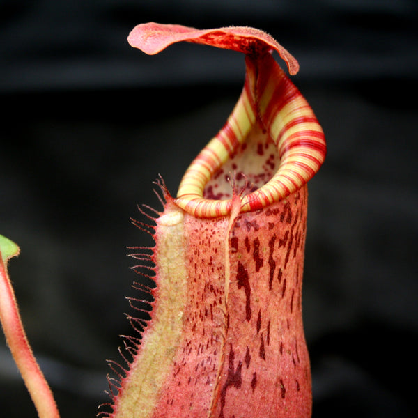 Nepenthes Song of Melancholy x [(lowii x veitchii) x boschiana]-white, CAR-0024