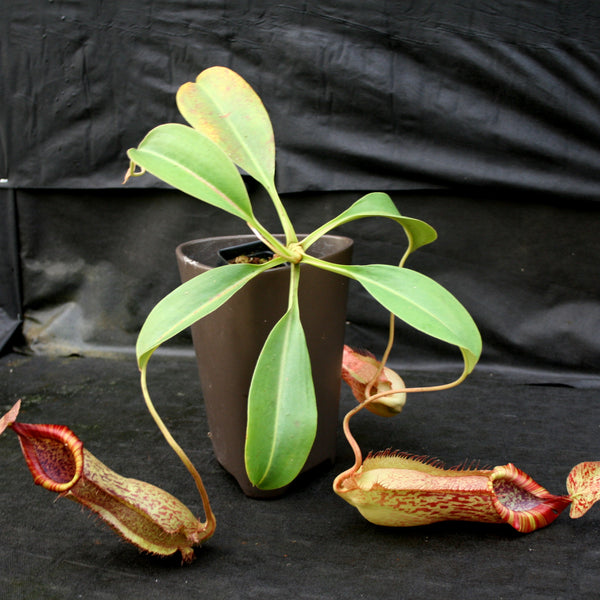Nepenthes spathulata x peltata BE-3866