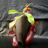 Nepenthes burkei x robcantleyi, BE-3752