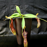 Nepenthes singalana Belirang, BE-3170