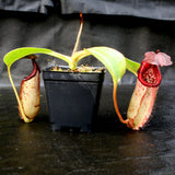 Nepenthes burbidgeae x robcantleyi, BE-3577