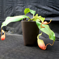 Nepenthes veitchii x mira BE-3696