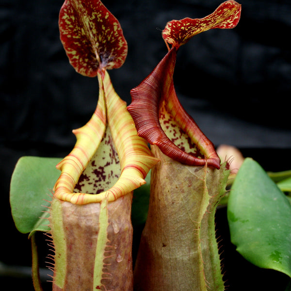 "Nepenthes (maxima x campanulata) x veitchii ""The Wave"", CAR-0070"