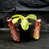 Nepenthes maxima x Trusmadiensis BE-3709