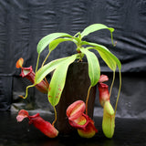 Nepenthes ventricosa Madja-as x (spathulata x jacquelineae)-BE Best, CAR-0040