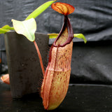 Nepenthes species #1, BE-3172