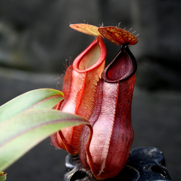 Nepenthes Viking x hamata, CAR-0098