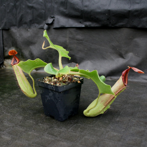 Nepenthes truncata (d) x Pasian Red, CAR-0103