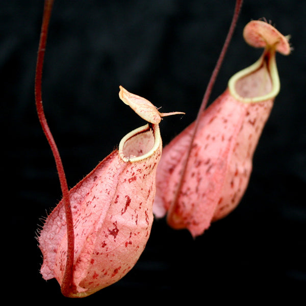 Nepenthes rafflesiana, Kuching Squat Red