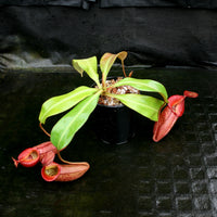 "Nepenthes 'Splendid Diana' x veitchii ""Pink Candy Cane"", CAR-0032"