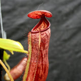 Nepenthes glandulifera x [(lowii x veitchii) x boschiana], CAR-0067