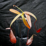 Nepenthes tentaculata, BE-3870