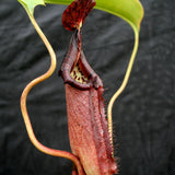 Nepenthes robcantleyi x burbidgeae BE-3935