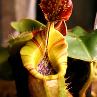 "Nepenthes veitchii (""Big Mama"" x ""Pink Candy Cane""), CAR-0001"