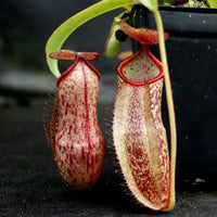 "Nepenthes (spathulata x spectabilis) ""BE Best"" x spectabilis Dairi Regency, CAR-0093"
