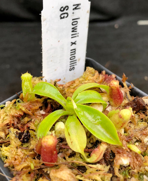 Nepenthes lowii x mollis