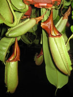 Nepenthes Cemerlang