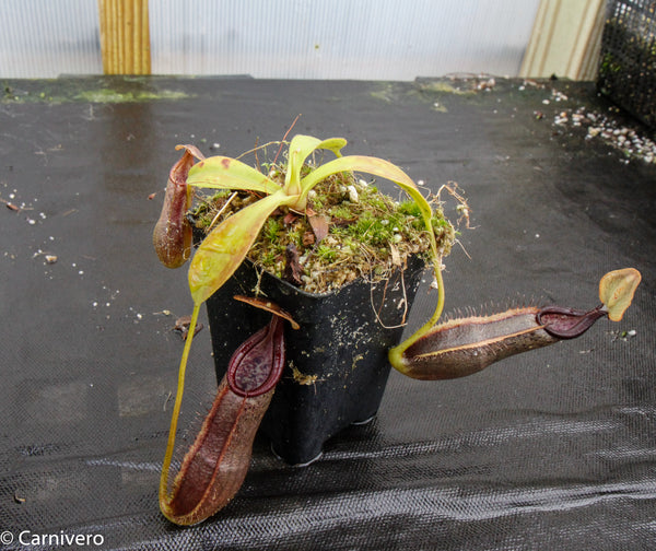 Nepenthes bongso var. robusta (seed grown)