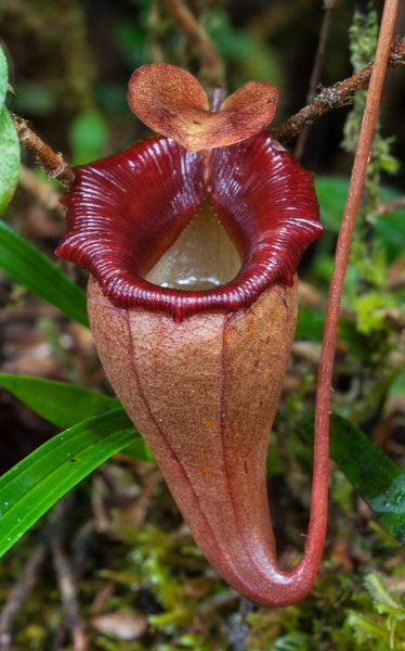 Nepenthes flava BE-3652