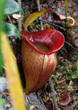 Nepenthes jacquelineae, BE-3093