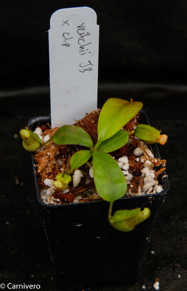 Nepenthes veitchii x clipeata, CAR-0128