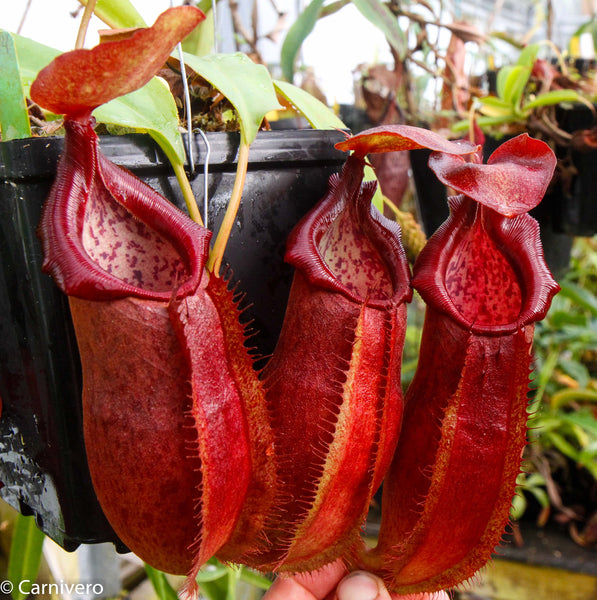 Nepenthes adrianii, CAR-0135