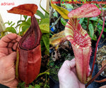 Nepenthes adrianii x [lowii x (veitchii x northiana)], CAR-0002