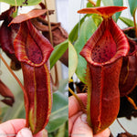 Nepenthes adrianii x [lowii x (northiana x veitchii)], CAR-0002