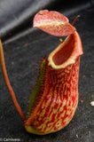 Nepenthes adrianii x maxima, CAR-0041
