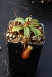 Nepenthes aenigma, BE-3770