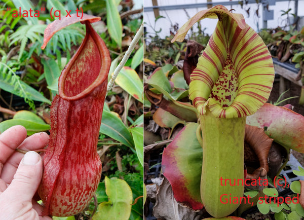 Nepenthes alata x truncata, CAR-0003