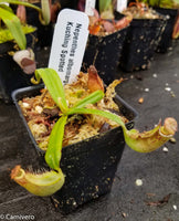 Nepenthes albomarginata Kuching Spotted
