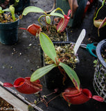 Nepenthes ampullaria, BE-3681
