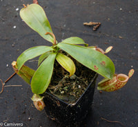 Nepenthes ampullaria Nabire Bronze, BE-3304