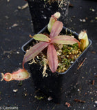 Nepenthes ampullaria x hamata, BE-3726