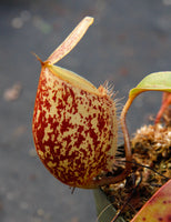 Nepenthes ampullaria x sibuyanensis, BE-3305