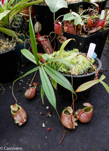 Nepenthes bellii