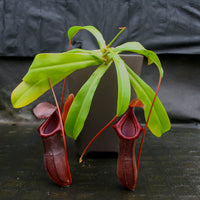 Nepenthes Bill Bailey