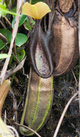 Nepenthes bongso dark
