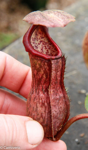 Nepenthes boschiana, specimen B20