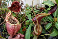 Nepenthes burbidgeae x lowii