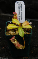 Nepenthes burbidgeae x (veitchii x lowii)