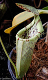 Nepenthes burbidgeae x campanulata BE-3564