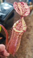 Nepenthes burbidgeae x edwardsiana (hort)